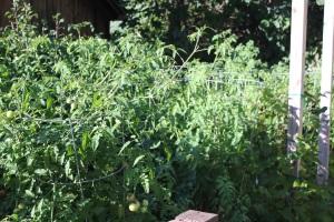 The healthy tomato garden.