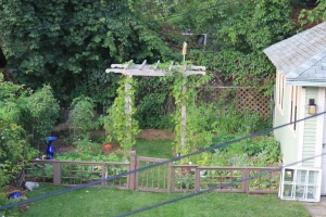 The garden today. Notice the grapeless vines, the pear-less trees, the unripe tomatoes. Frederico the Falcon is NOT deterring the pest.