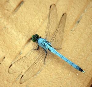 Carova Dragonfly